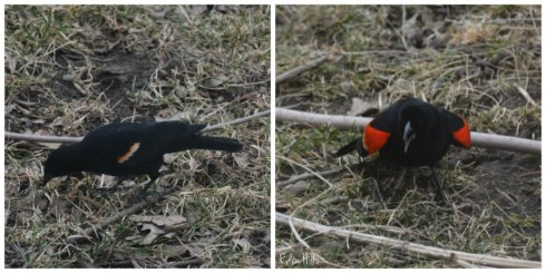 red-winged black bird collage