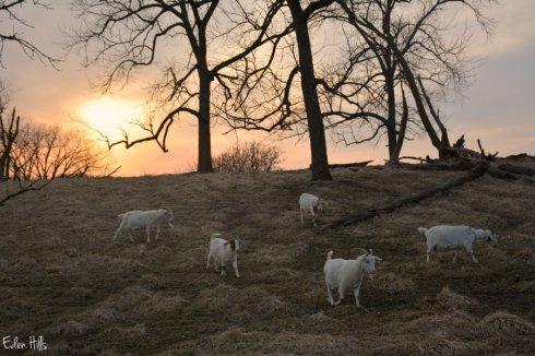 Sunset Goats_3079ews