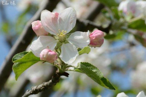 SOOC apple blossom
