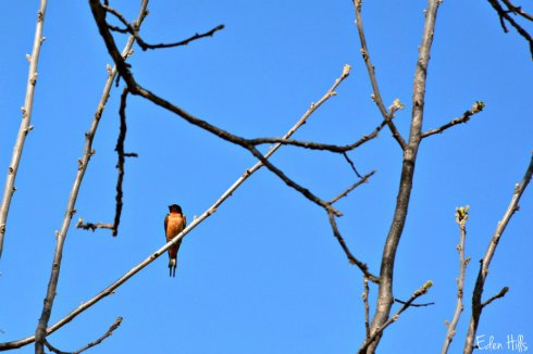 Barn Swallow_5290ews