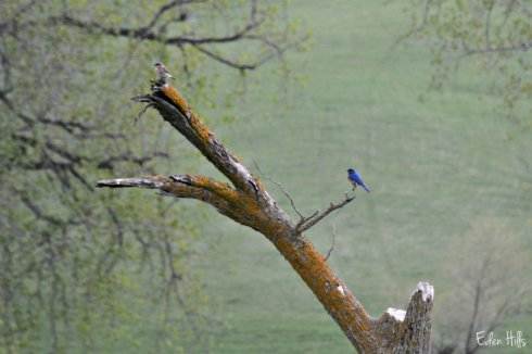 bluebirds_5832ews