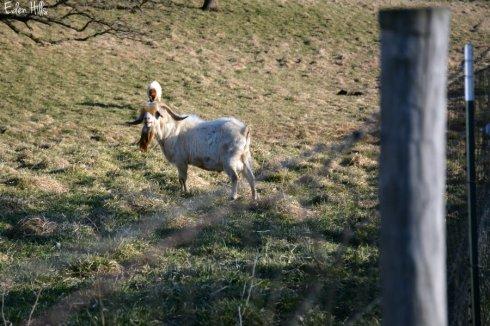 Bucks in Pasture_5096ews