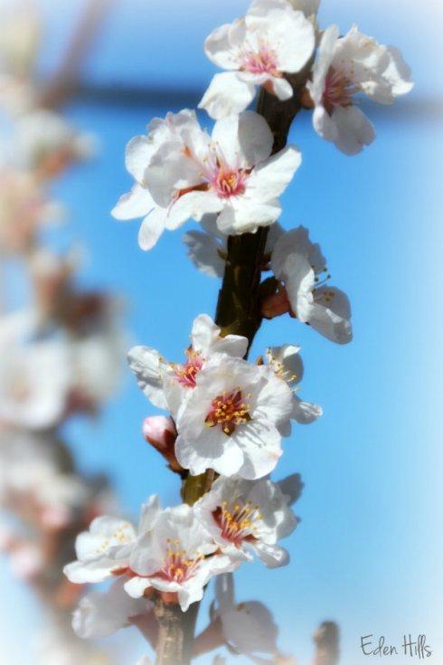 cherry blossom_4778ews