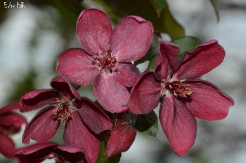 SOOC cherry blossom