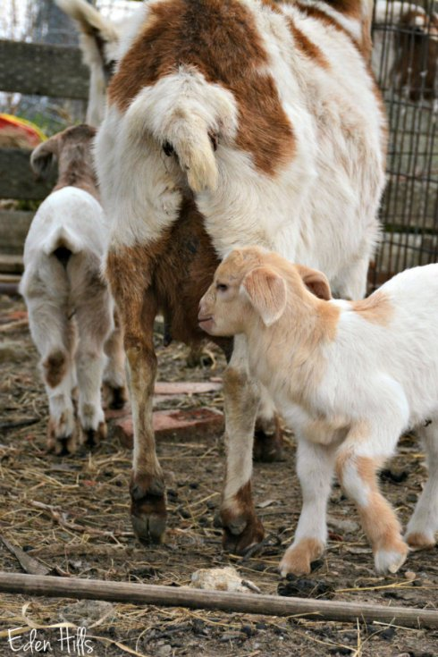 goat and kids_4681ews