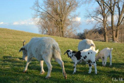Goat Family_4586ews