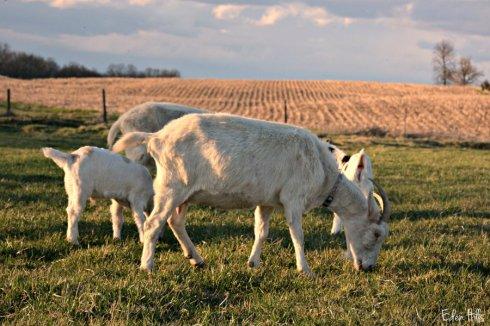 Goat Family_4589ews