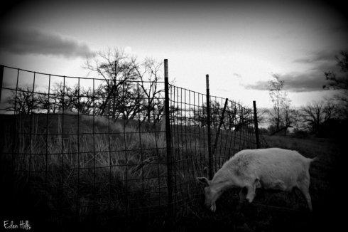 goat fence_5525ews
