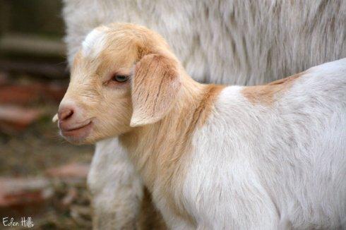 Goat Kid_4696ews