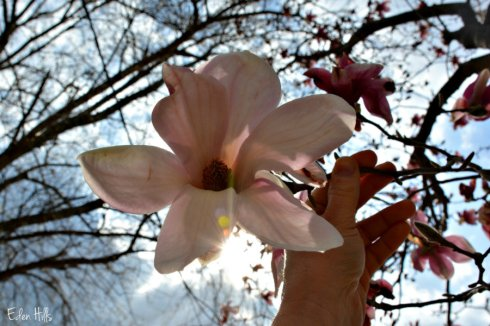 magnolia_5176e2ws