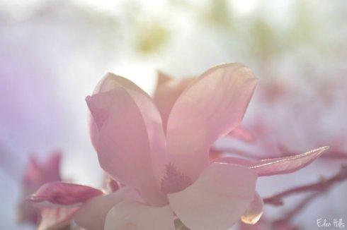 magnolia_5180aws