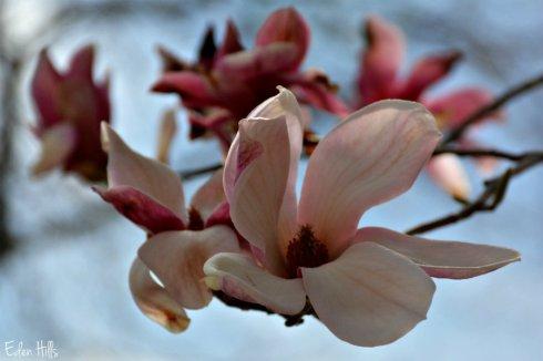 magnolia_5196ews