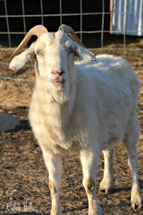 Old Doe Goat_4567ews