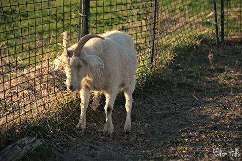 Old doe goat_4571ews