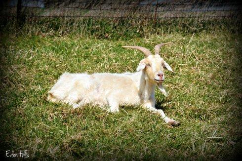 Old doe goat_5019ews