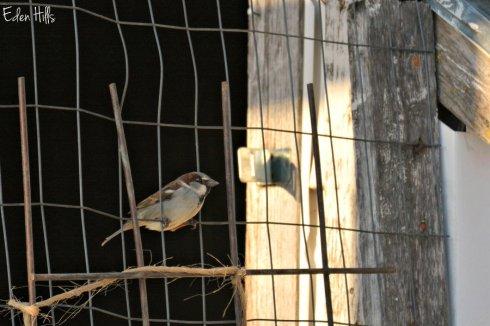 sparrow_4832ews