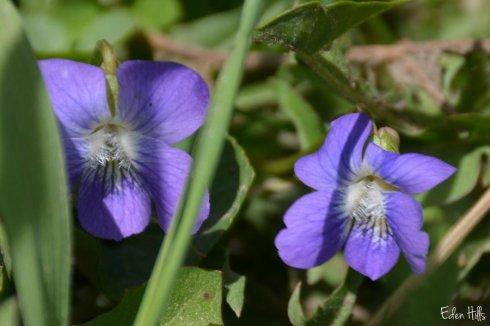 violets_5233ews
