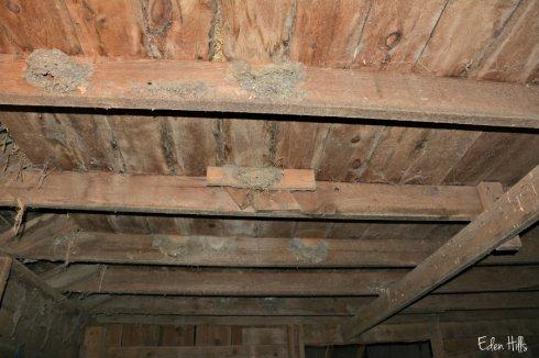 barn swallow nests_7829ews