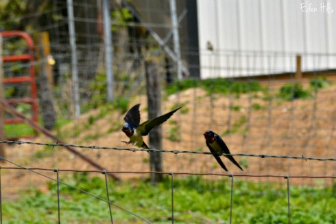 barn swallow_6702ews