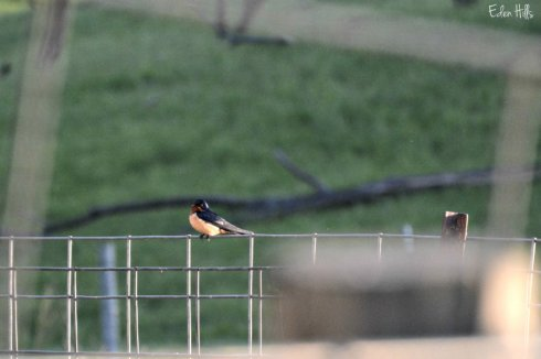 Barn Swallow_7166ews