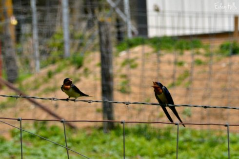 barn swallows_6703ews