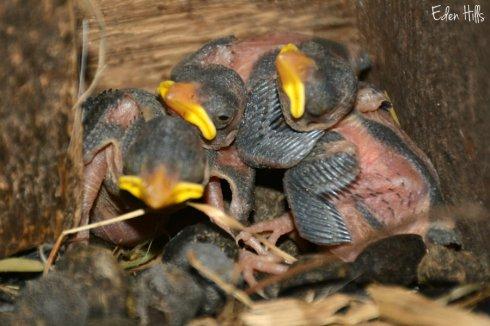 barn swallows_7799ews