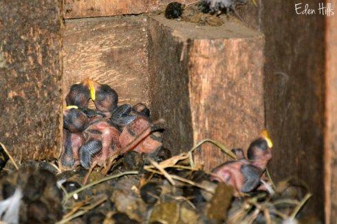 barn swallows_7819ews
