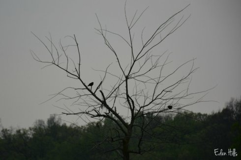 SOOC bluebirds against a smokey sky
