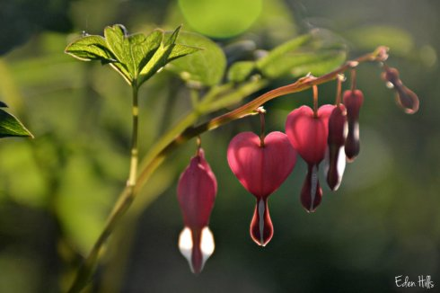 bleeding heart_7283ews