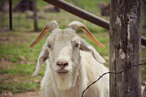 boer saanen goat_5785ews