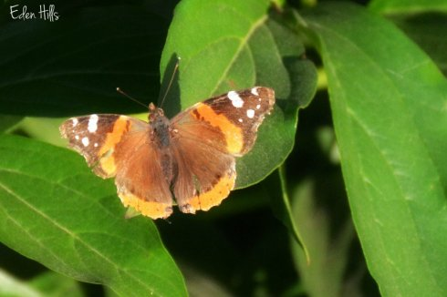 butterfly_7262ews