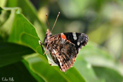 butterfly_7266ews