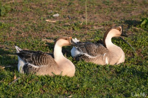 Goose S_6108ews