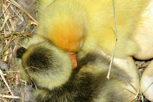 goslings_7665ews