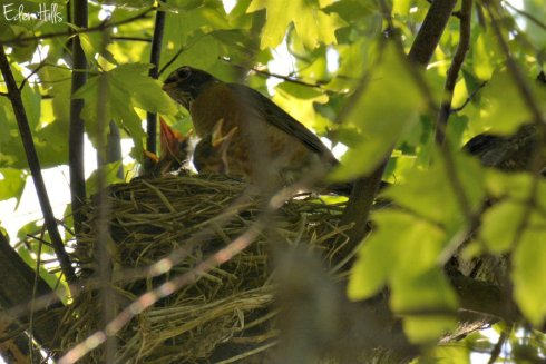robin nest_6754ews