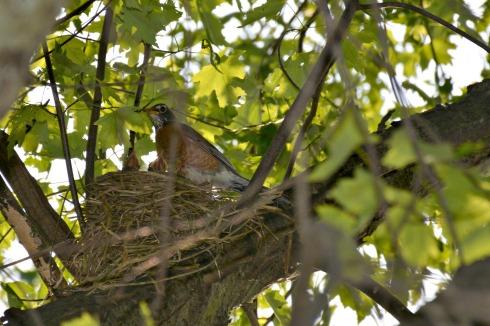 robin nest_6756e