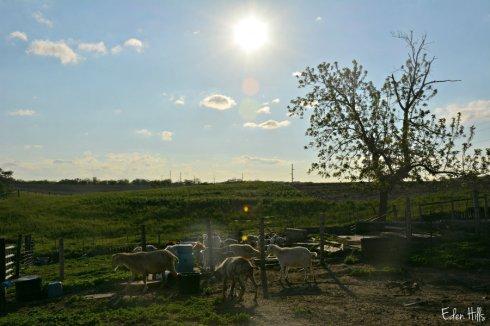 sunny barnyard_6389ews