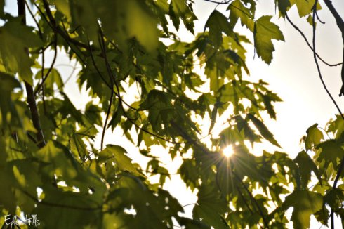 sunny leaves_6211ews