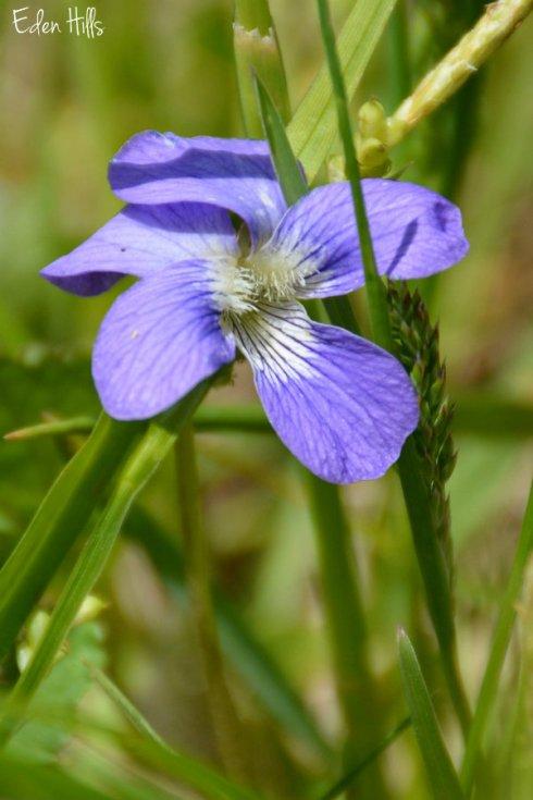 SOOC violet