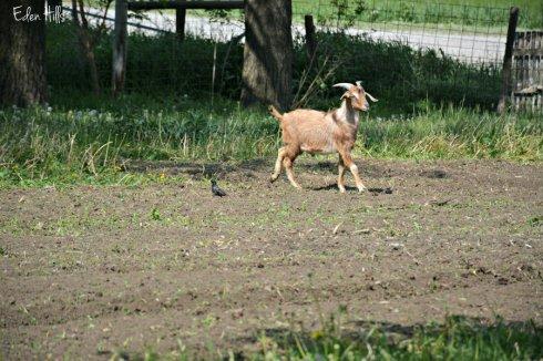 Yard Goat in Garden_7217ews