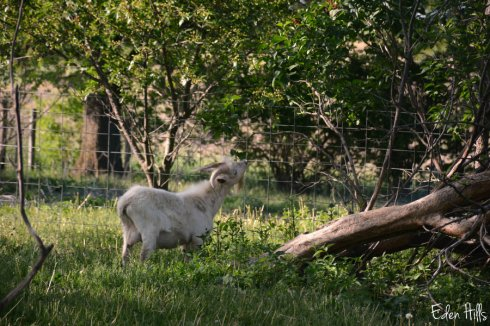 Yard Goat_7357ews