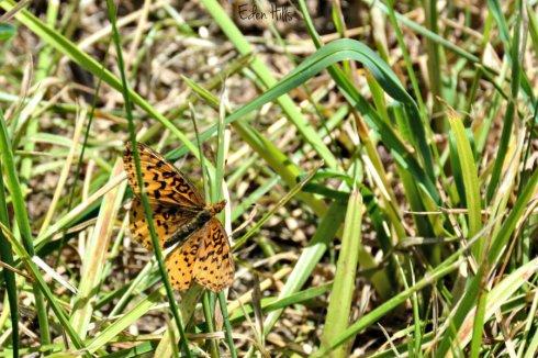 butterfly_0325ews