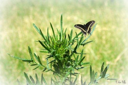 butterfly_9492ews