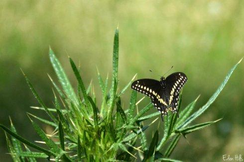 butterfly_9498ews