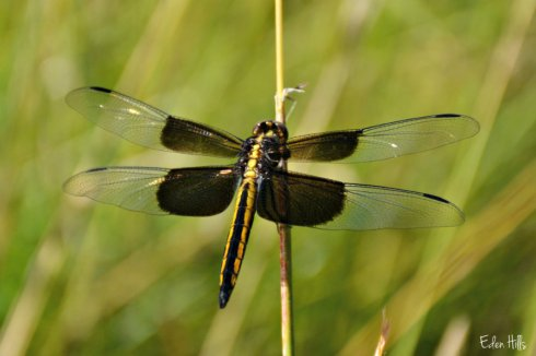dragonfly_0621ews