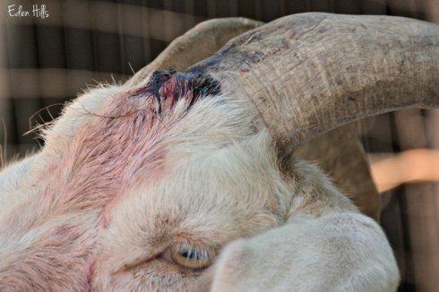 goat injury_9592ews