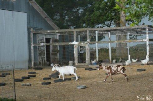 goats_0895aws