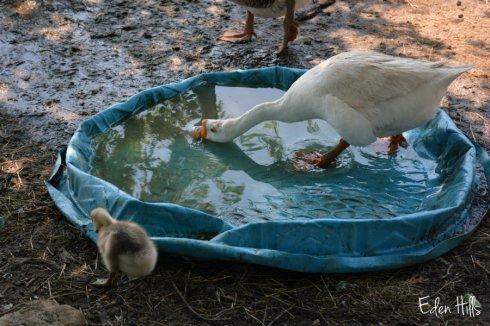 Goose pool_8880ews