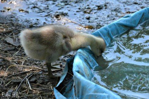 Goose pool_8882ews
