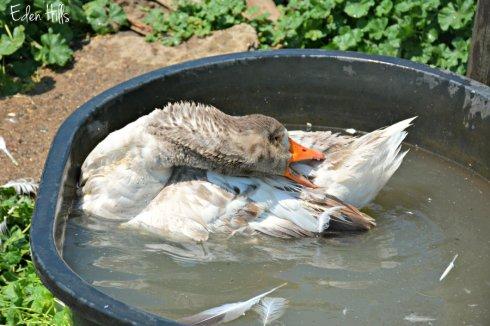 Goose pool_8890ews